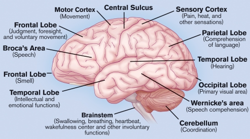 Click this image to see a breakdown of this diagram and what each section of the brain relates to in our behaviours etc