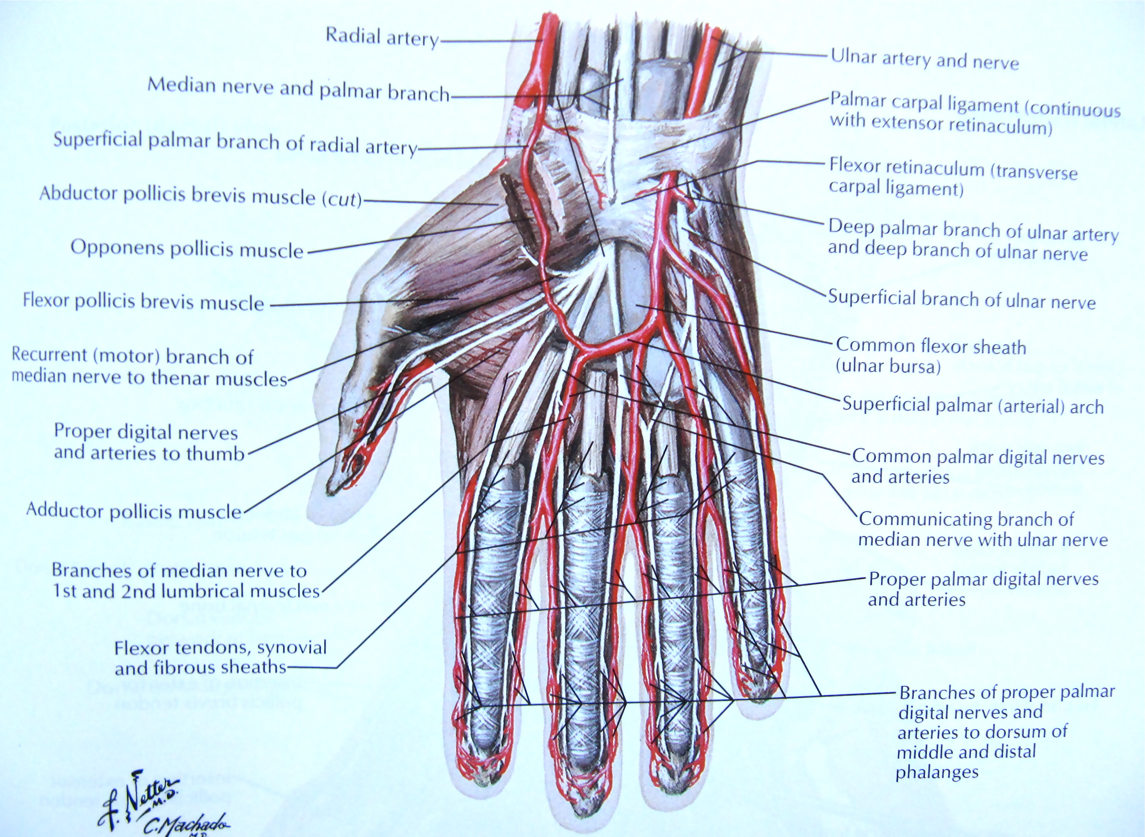 Hand Forearm Vein Diagram - Residential Electrical Symbols •