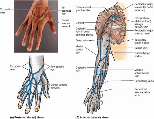 Veins In Arm Diagram - Electrical Work Wiring Diagram •