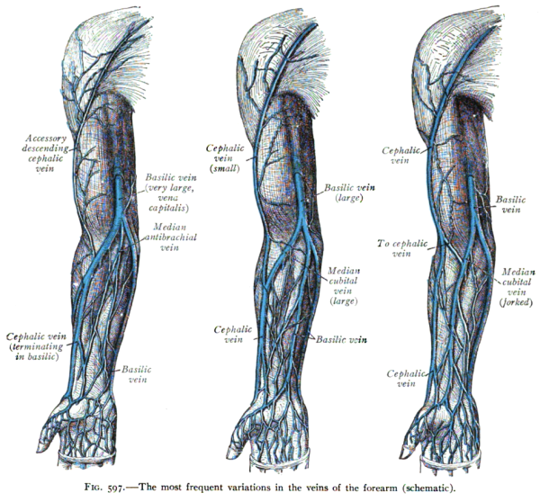The most frequent variations in the veins of the forearms